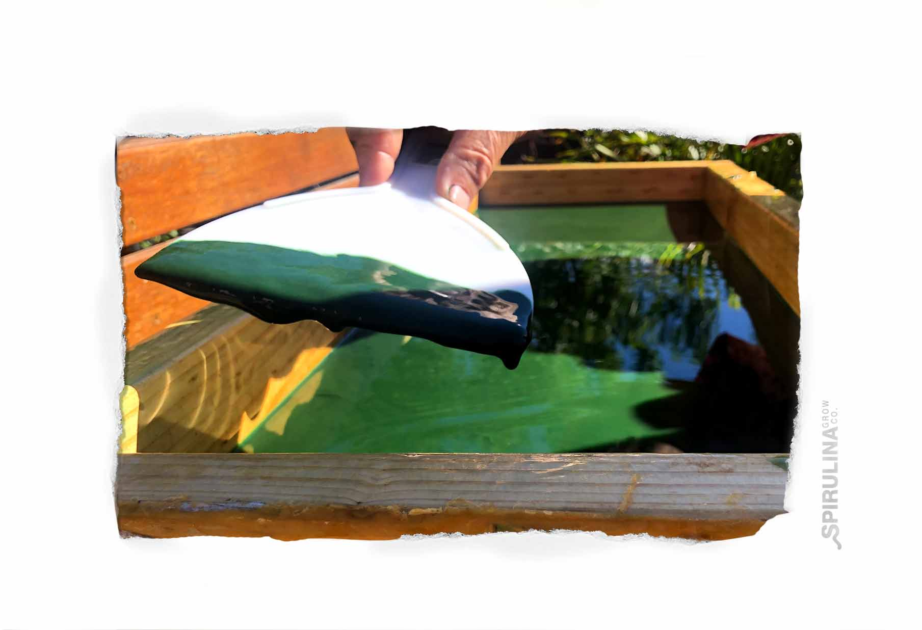 Harvesting Fresh Spirulina at Home Australia
