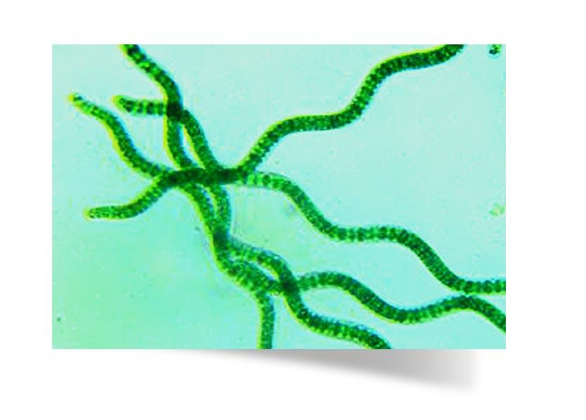 Spirulina magnified